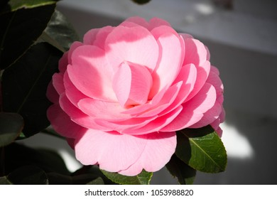 Camellia Flower in full bloom
