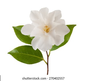 camellia flower with leaf isolated on white