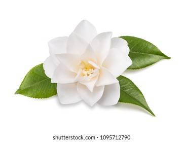 camellia flower with leaves  isolated on white