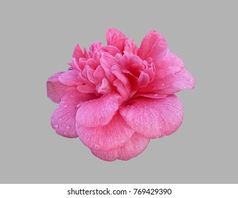 Camellia flower on an isolated gray background .