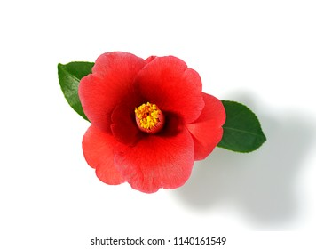 Camellia flower on white