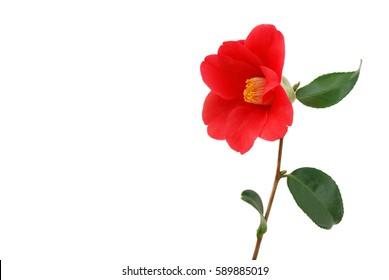 Camellia flower on white