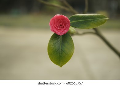 Camellia flower of pink color before fully opening. Flower bud of camellia outdoors isolated with shallow depth of field.