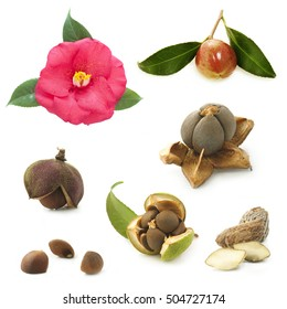 camellia flower and seeds on a white background, collage