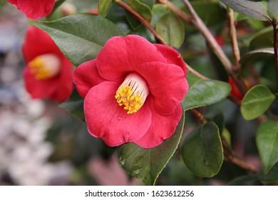 Camellia flowers in Hokkaido, Japan