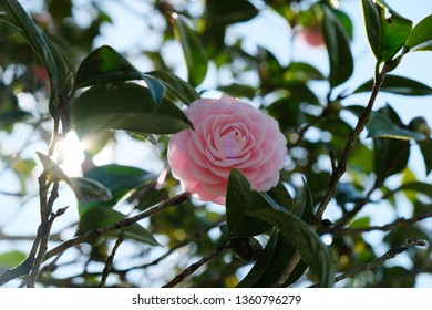 Camellia is a genus of flowering plants of Theaceae. Pink camellia represents eternal love and romance. Its a highly respected flower in Japan, and is often referred to as the Japanese rose.