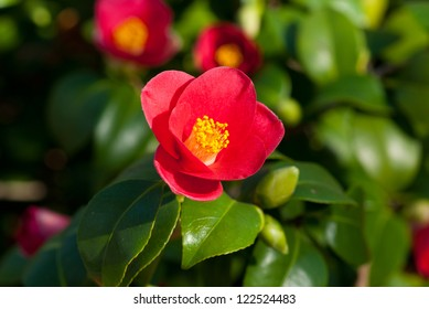 Camellia Japonica blooming in Dresden Pillnitz in March