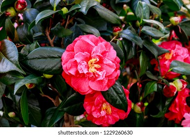 Camellia japonica  C.M.Hovey Red flower ( or Colonel Firey Camellia )   Vivid red double blooms. Evergreen with glossy foliage.