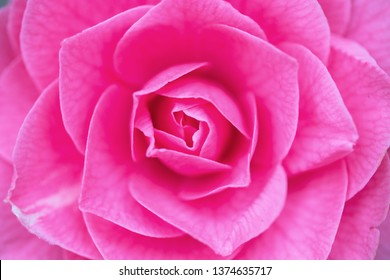 Camellia japonica, known as common camellia, Japanese camellia, or tsubaki in Japanese, is one of the best known species of the genus Camellia. Sometimes called the rose of winter.