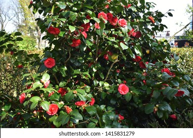 Camellia japonica, known as common camellia, Japanese camellia, or Tsubaki in Japanese, Family: Theaceae. Camellia japonica is a flowering tree or shrub.