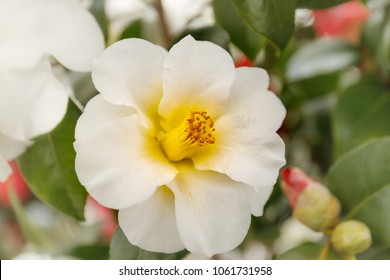 Camellia japonica Triphosa white flower