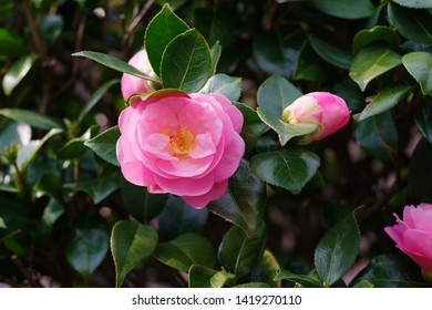 Camellia japonica (Tsubaki) , single flowered - Shutterstock ID 1419270110