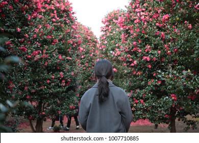 Camellia, jeju-island, Korea