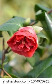 Camellia Lady Campbell - Latin name - Camellia japonica Lady Campbell