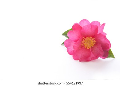 Camellia on a white background