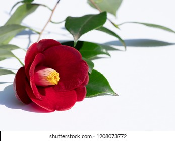 Camellia. Red flower.