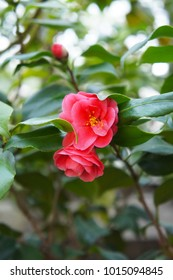 Camellia red flowers with green foliage