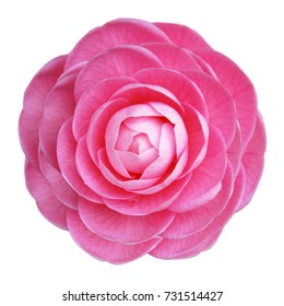 Camellia flower images stock photos vectors shutterstock camellia rose pink flower white background isolated mightylinksfo