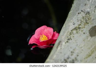Camellia sasanqua. Camellia japonica. Camellia flowers in water.