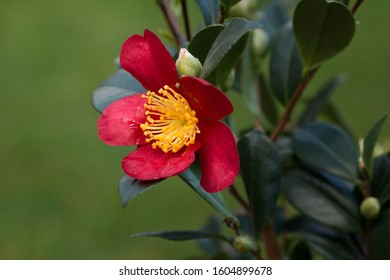 camellia sasanqua red garden plant yuletide