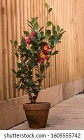 camellia sasanqua in terracotta pot