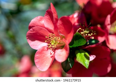 'Yuletide' Camellia, This compactly growing shrub has glossy, dark green leaves which remain throughout the year. Bright red single blooms with contrasting yellow stamens are formed during the winter.