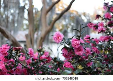 Camellias in Bluffton