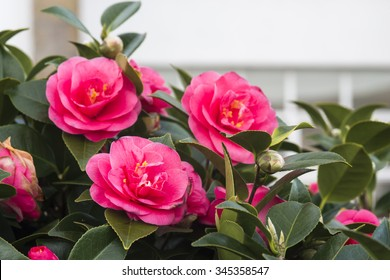 Camellias in the tree