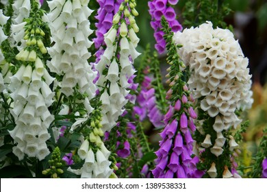 Camelot white and purple foxglove flowers blooming in the Spring