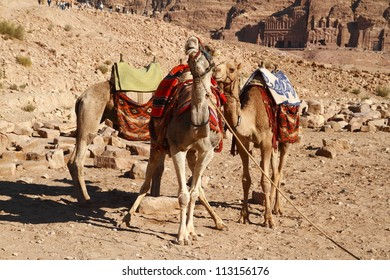 Camels in the abandoned city of Petra in Jordan.