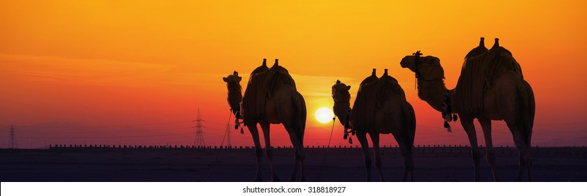 Camels against the rising sun in the desert