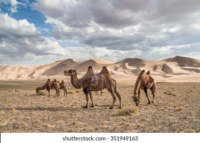 Camels (Camelus bactrianus) on Khongoryn Els in Gobi Gurvansaikhan National Park, Mongolia