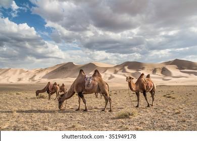 Camels (Camelus bactrianus) on Khongoryn Els in Gobi Gurvansaikhan National Park, Mongolia