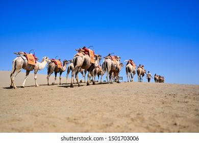 camels caravan at desert in Dunhuang ,China