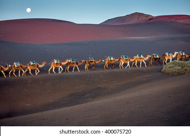 Camels caravan walking on the volcanic landscape in Timanfaya national park in the morning on Lanzarote island