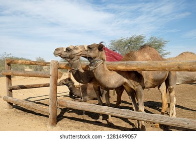 Camels in a corral on a camel farm in the Negev desert in Israel