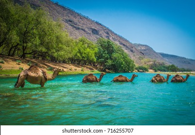Camels Crossing a River at Desert Oasis