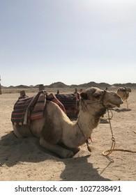 camels in the desert, Egypt
