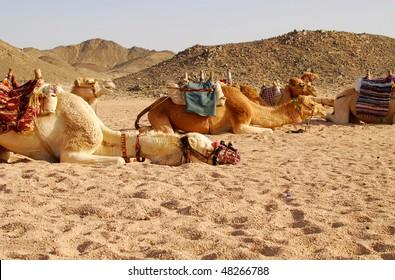 camels in desert, Egypt