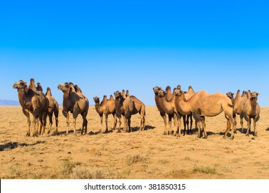 camels in the desert of Kazakhstan