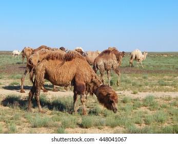 Camels in the desert. Kazakhstan