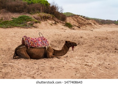 Camels in the Desert Oasis