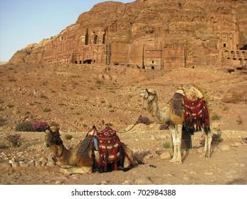 Camels in the desert. Petra, Jordan