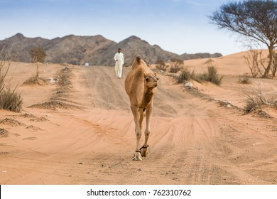 Camels in the desert in a sunny day in the UAE.