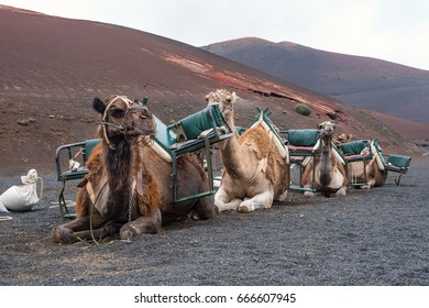 Camels in the desert of Timanfaya on the island of Lanzarote, Canary Islands. Spain, Europe.