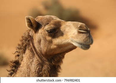 Camels in the desert of the United Arab Emirates. Camel owners leave their animals roam more less free. Pretty harmless and a nice tourist attraction.