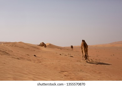Camels in the desert of Wahiba Sands in Oman