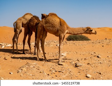 Camels in the dessert in Oman