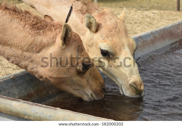 Camels drinking water
