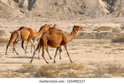 Camels, dromedaries in desert of Qeshm Island, Iran